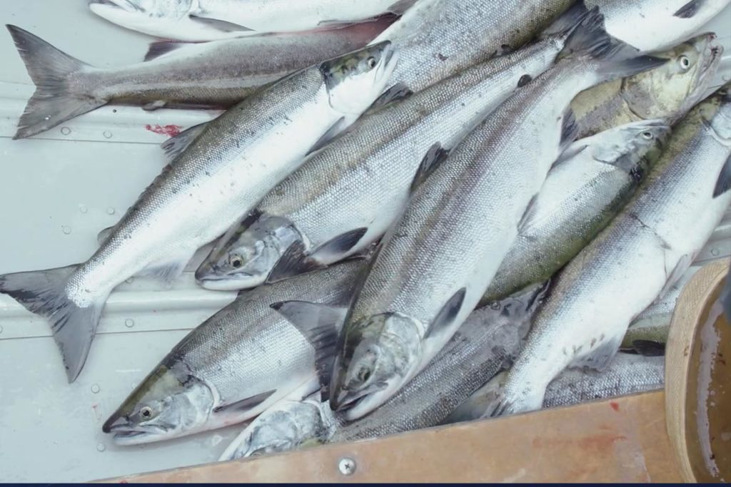 Wild Salmon