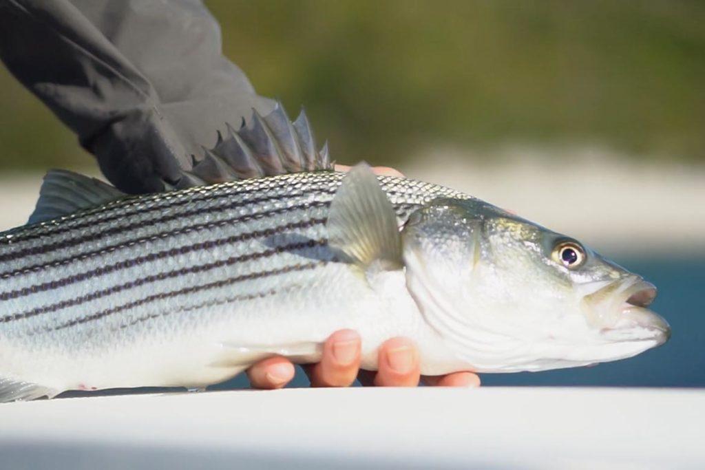 Blitzing Fish
